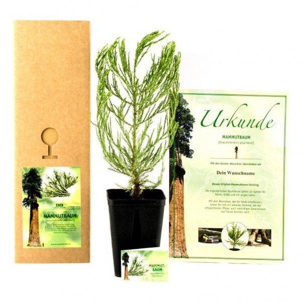Premium-Pflanzset ''Mammutbaum'' mit Urkunde