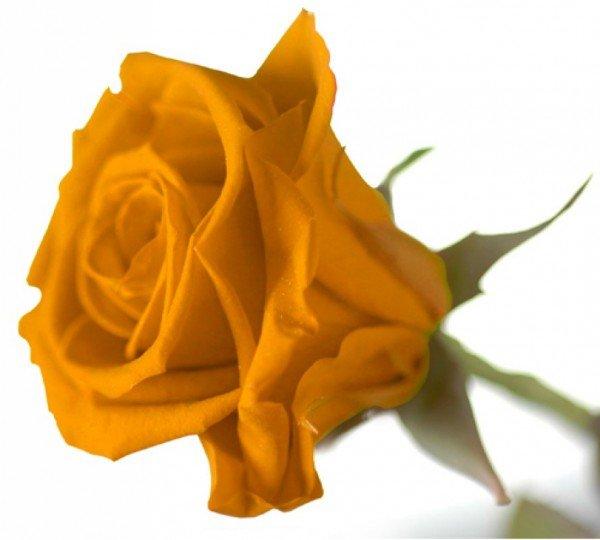 Ewige Rose - Gelb
